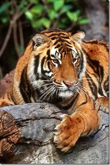 Animal Kingdom - Maharajah Hunger Trek