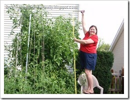 9 foot tall tomato plants from home garden