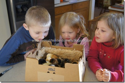 Baby chicks arrive in the mail - love the chirping box!