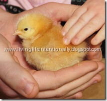 Buff Orpington Baby Chick