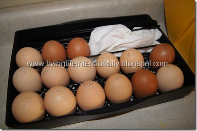 hatching chicken eggs at homes