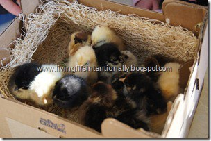 How-to-Care-fort Baby-Chickens