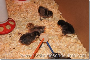 Backyard Chickens: Our chicken breeds