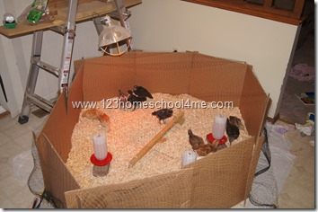 Backyard Chickens Brooding with deer netting