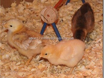 See How Chicks Grow Week by Week