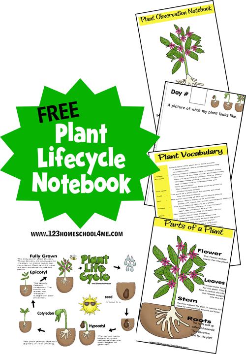 FREE Plant Lifecycle Worksheets - these free printable pages make it fun, easy and LOW PREP for preschool, kindergarten, first grade, 2nd grade, and 3rd grade kids to learn about life cycles. These are a fun hands on science unit