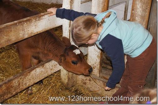3 week old baby Jersey Cow on homeschool fieldtrip
