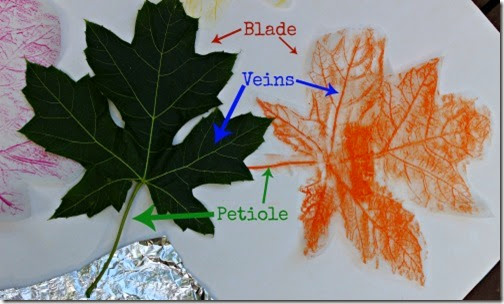 The Art & Science of Leaf Rubbings #fall #science #homeschool #education