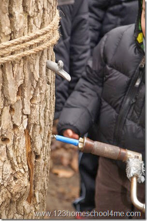 drilling a hoel in a maple tree