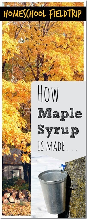 How maple syrup is made - A fun homeschool fieldtrip idea; or just take a virtual fieldtrip here.