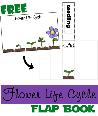 Flower Life Cycle Lift the Flap Book - This free printable is a fun way to teach toddler, preschool, kindergarten, and 1st graders about plant life cycles as they cut and paste. Spring Science is fun!