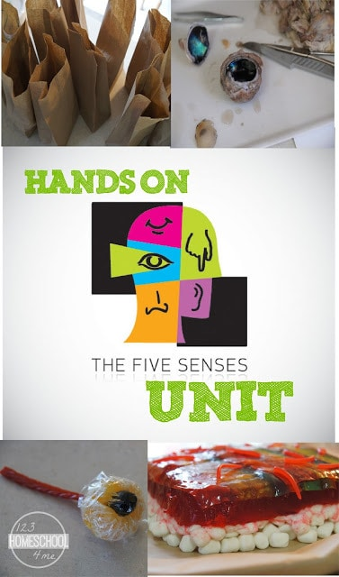 Come explore the 5 senses for kids with this fun, engaginge five senses for kids lesson plan. with us as part of our 5 senses unit. We explore some great books, videos, learned about the sense of touch for kindergarten by making and edible skin layers project, hands-on sense of sight activities, dissecting a cow eye experiment and so much more. This is a five senses for kindergarten, preschool, pre-K, first grade, 2nd grade, and 3rd graders is a great way to learn about the sense of sight, sounds, taste, touch, and smell.
