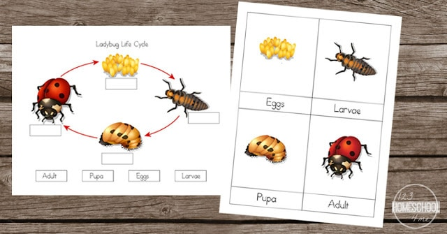 ladybugs worksheets for kids learning about ladybug life cycles in science - toddler, preschool, prek, kindergarten, first grade, second grade, third grade