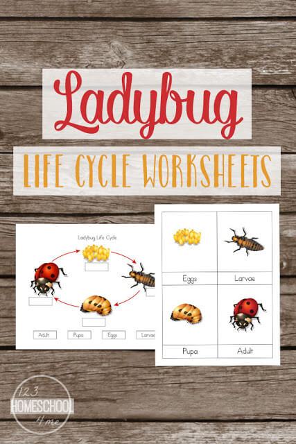 FREE Ladybug Life Cycle Worksheets for kids learning about ladybug life cycles in science. Includes Lady bug Lifecycle chart, ladybut vocabulary and more. Perfect for toddler, preschool, prek, kindergarten, first grade, second grade, third grade for summer learning, homeschooling, classroom, and after school. #lifecycles #ladybugs #freeworksheets