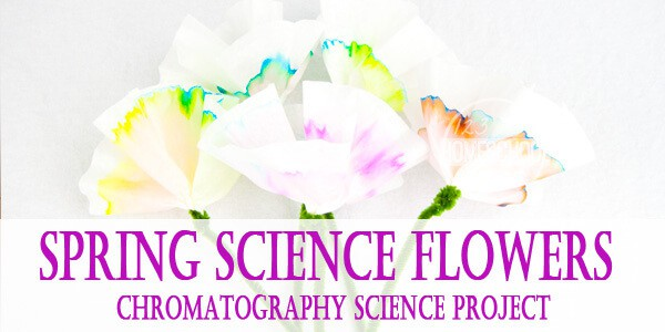 fun, hands on chromatography flowers science project for kindergarten, grade 1, pre k, grade 2, grade 3, and grade 4 for an educational spring activity #scienceproject #scienceforkids #springacgtivity