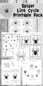 Fun Life CYcle of a Spider for kids worksheets