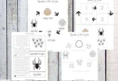 Spider-Life-Cycle-Worksheets