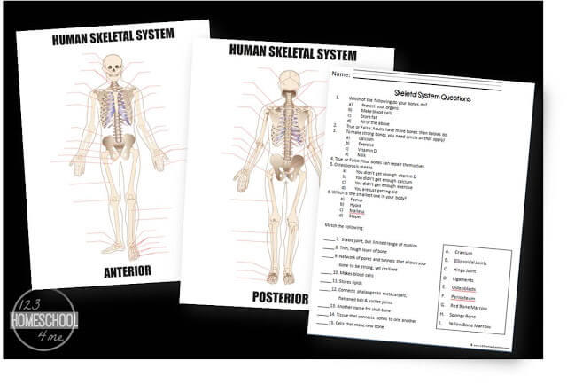 skeletal sytstem worksheets for kids are part of a human body for kids unit