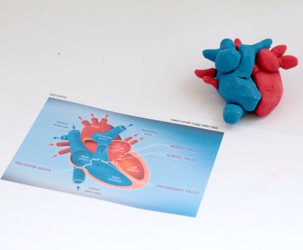 playdough heart model for learning about the human body