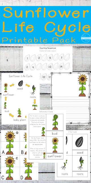 FREE printable sunflower life cycle worksheets - these are such a fun way for kids to learn about plant life cycles in the spring while practicing alphabet letters, counting, subtracting, singular / plural, graphing, telling time and so much more. Fund kindergarten worksheets, preschool worksheets, prek, and first grade. #lifecycles #preschool #kindergarten