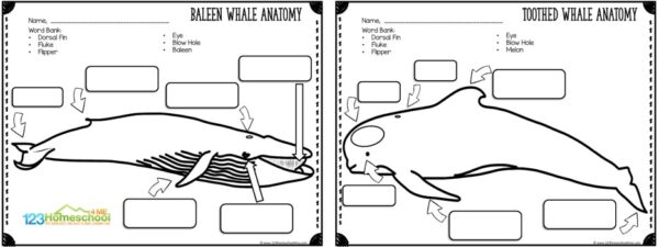 parts of a whale labeling baleen and toothed whales