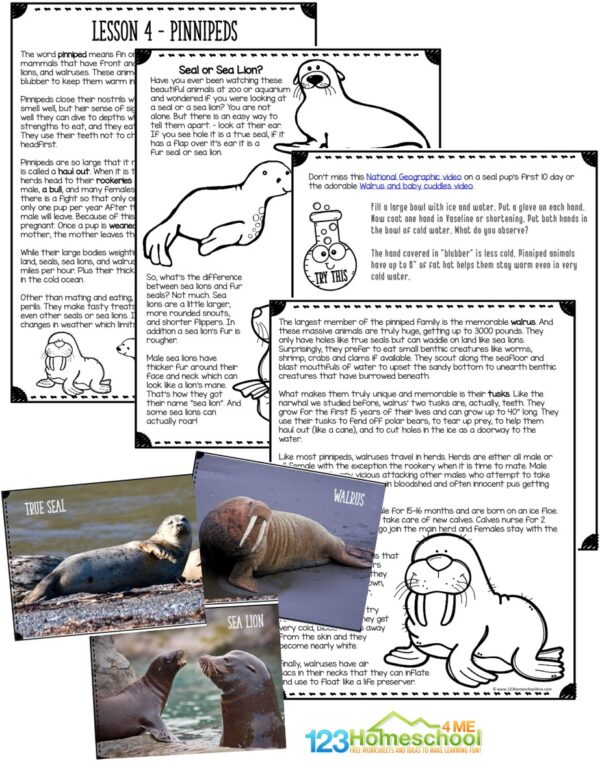 learn all about the carnivorous, aquatic animals that make up the pinniped group including seals, sea lions, and the walrus in this fun printable lesson for elementary age students