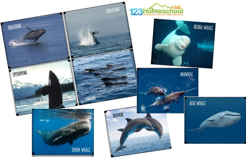 full color whale flashcards to print and enjoy