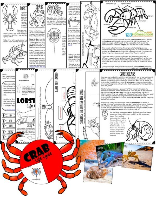 Learn all about crustaceans such as lobsters, crabs, krill, shrimp, and more with this fun, hands on and engaging science lesson for home, coop, classroom, or homeschoolers