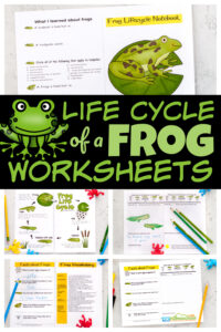 Kids will have fun learning about the life cycle of a frogwith this free printable notebook filled with interesting information, life cycle chart, life cycle of a frog printable, vocabulary, and a space for recording their observations as they watch tadpoles become frogs in this homeschool science experiment.Simply download pdf file withlife cycle of a frog worksheet and you are ready to play and learn this spring and summer!