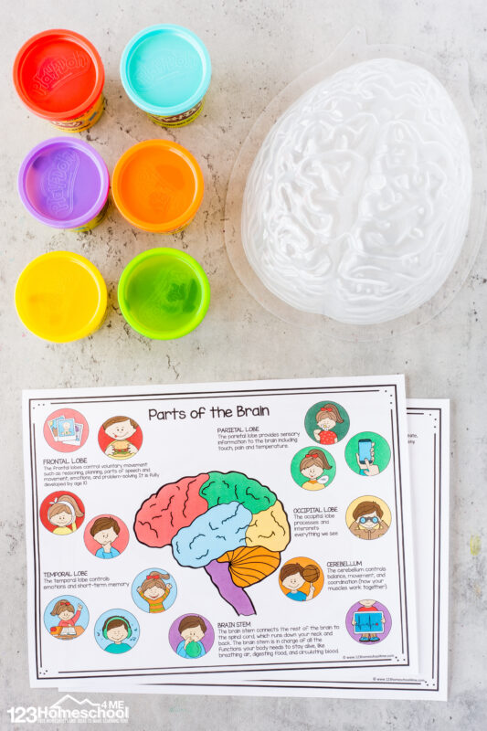 brain diagram for kids