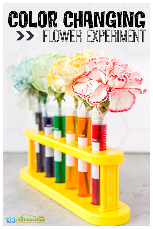 There are certain science projects that make you go WOW! This color changing flower activity is one of those! Children learn about capillary action for kids with this amazing, colorful flower experiment. Try this colour changing flower experiment with toddler, preschool, pre-k, kindergarten, first grade, 2nd grade, 3rd grade and 4th garders too. Simply download pdf file with food coloring flower experiment worksheet and you are ready to play and learn withflower science!