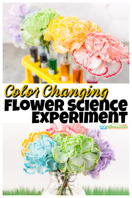 There are certain science projects that make you go WOW! This color changing flower activity is one of those! Children learn about capillary action for kids with this amazing, colorful flower experiment. Try this colour changing flower experiment with toddler, preschool, pre-k, kindergarten, first grade, 2nd grade, 3rd grade and 4th garders too. Simply print pdf file with food coloring flower experiment worksheet and you are ready to play and learn withflower science!