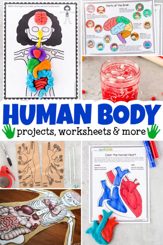 Learn about our amazing bodies with thesehuman body for kids activities. These human body projectsallow children to learn about the heart, muscles, lungs, 5 senses, bones organs, cells, and so much more! In additin to human body activities, we've included human body worksheets and printables to help you complete your anatomy lessons. Use thesehuman body science experimentsfor preschool, pre-k, kindergarten, first grade, 2nd grade, 3rd grade, 4th grade, 5th grade, and 6th graders too.
