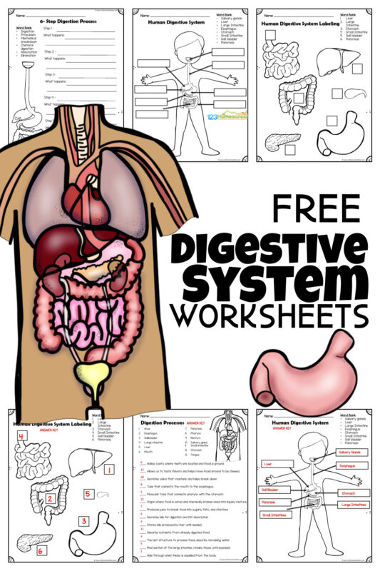 FREE Digestive system worksheets to help elementary age and jr high students learn about the process of the digestives system, human body organs involved in digestion such as the stomach, large intestine, small intestne, liver, gall blader, pancrease, labe human body, and more!